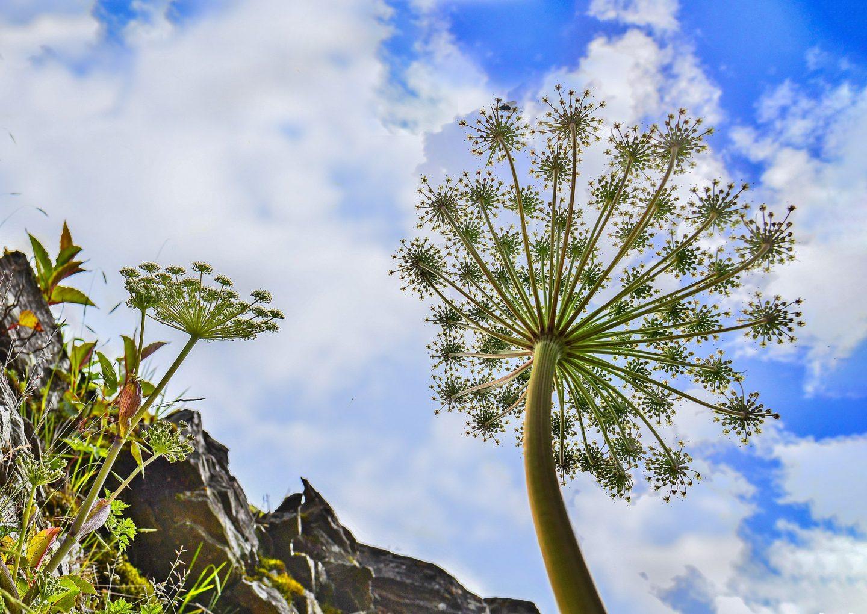潘麗峰, Angelica morrisonicola in Hehuan Mount DSC 1418-2, CC BY-SA 4.0