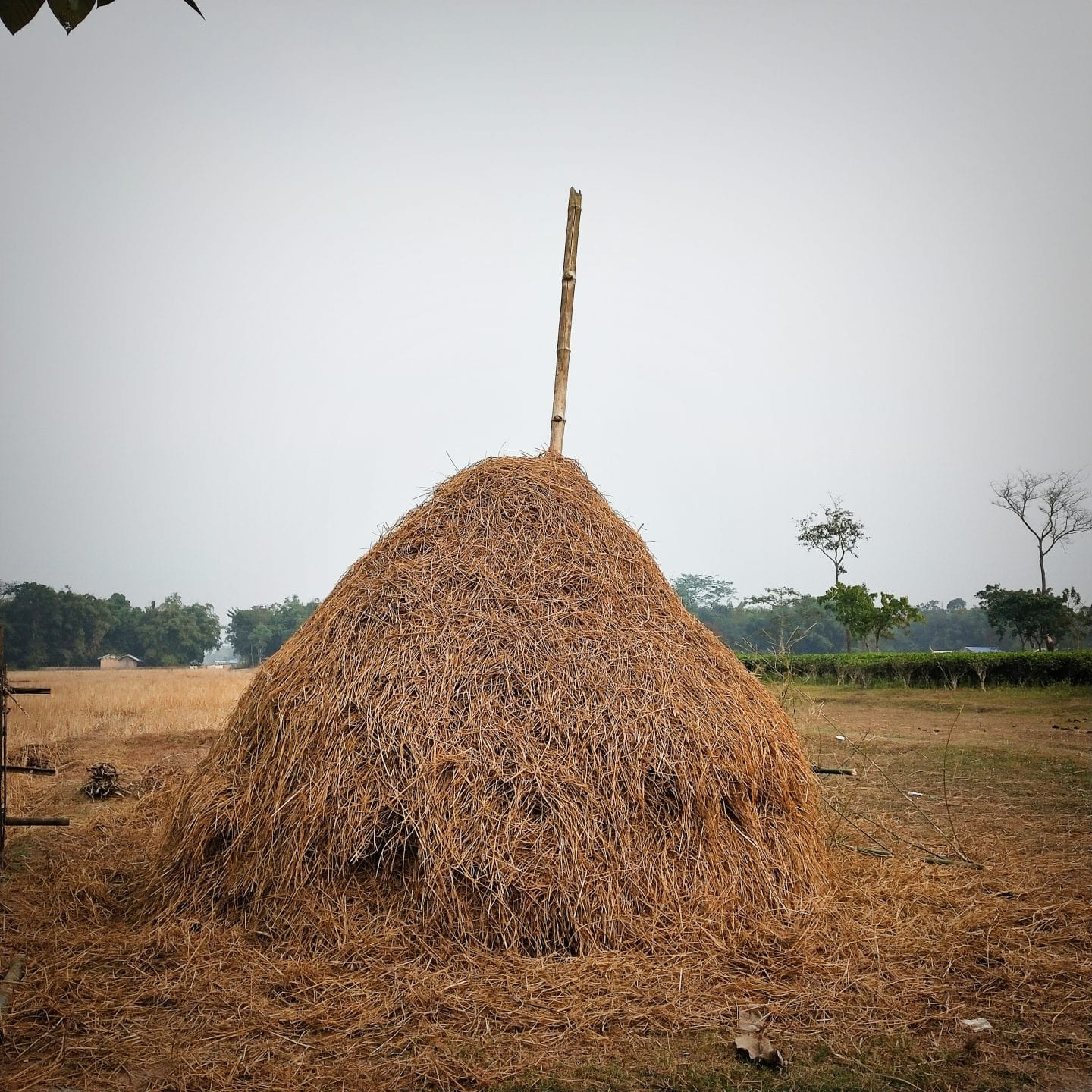 A_pile_of_straw_after_extracting_grains